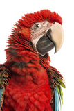 Close-Up of a Green-Winged Macaw