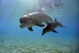 Juvenile Bottlenose Dolphin