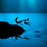 Silhouette of Praying Mantis on Blue Background