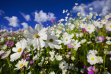 Wide Angle View of Cosmos Flowers in Full Bloom Clarens Area  Free State  South Africa