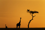 Female Giraffe with Baby at Sunrise