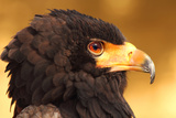 Male Bateleur Eagle in Head Shot