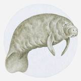 Illustration of a Manatee (Trichechus Sp) Underwater
