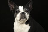 Older Bosten Terrier on Black Background