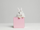 White Bunny Rabbit Wearing Tiara Sitting in Pink Box, Studio Shot Papier Photo par Roger Wright