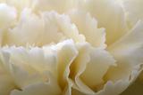 Cream Coloured Carnation  Close-Up