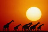 GIRAFFES IN Sunset  MASAI MARA NATIONAL Park  KENYA