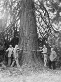 Measuring A Redwood