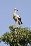 White Stork in Tree Top  Chellah  Morocco
