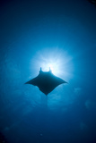 Manta Swimming Underwater  Low Angle View