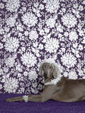Weimaraner (Canis Lupus Familiaris) on Purple