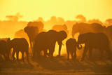 ELEPHANT HERD (Loxodonta Africana)  CHOBE NATIONAL Park  BOTSWANA