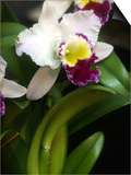 The Cattleya Orchid