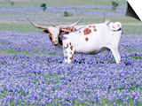 Longhorn Grazing on Bluebonnets  Midlothian  Texas