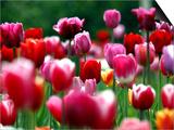 Rain Drops Twinkle on Blooming Tulips on a Field near Freiburg  Germany