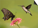 Black Swallowtail Butterfly Feeding On Pink Flower With A Hummingbird Hovering Next To It