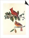 Cardinal Grosbeak