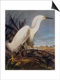 Snowy Heron Or White Egret