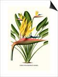 Yellow Bird of Paradise - Mandela's Gold
