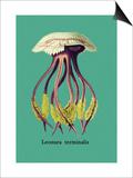 Jellyfish: Leonura Terminalis