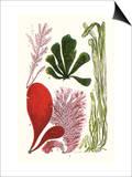Seaweeds - Common Coralline