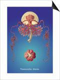 Jellyfish: Thamnostylus Dinema