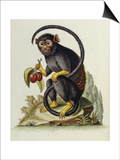 A Little Black Monkey Brought from the West Indies by Commodore Fitzroy Lee