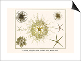 Crinoids  Gorgon's Head  Feather Stars  Brittle Stars
