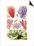Seaweeds Green Laver