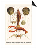 Horseshoe Crab  Shrimp  Lobster  Spider Crabs  Crabs  Porelain Crabs