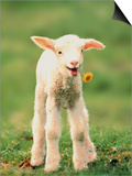 Lamb holding dandelion in mouth