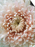 Chrysanthemum Rose Hybrid