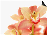 Salmon-Pink Orchid Blossoms