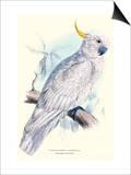 Greater Sulpher-Crested Cuckatoo - Cacatua Galerita