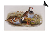 Red Legged Partridges (Caccabis Rubra)