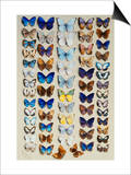 A packed plate of sixty-two butterflies