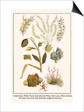 Cnidarians  White Weed  Hydroid  Sea Plant  Sea Laces  Moss Animal  etc