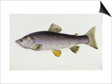 Watercolour of a Trout  Early 19th Century