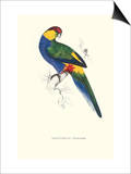 Red Capped Parakeet Male -Purpureicephalus Spurius
