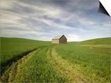 Old Barn in Wheat Field