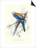 Pale-Headed Parakeet - Platycercus Adscitus