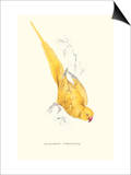 Rose Ringed Parrot (Yellow) - Psittacula Krameri