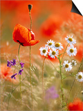 Poppy  camomile and larkspur