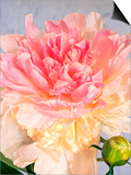 A Pale Pink and Cream-Colored Peony Blossom