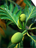 Breadfruit tree on Jamaica