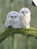 Two young tawny owls perched side by side