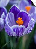 Crocus Pickwick Flower