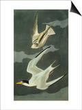 Lesser Tern Little Tern (Sterna Albifrons)  from 'The Birds of America'