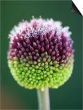 Close-Up of Allium Flower