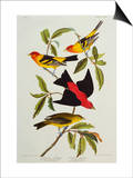 Louisiana & Scarlet Tanager (Tanagra Ludoviciana & Rubra)  Plate CCCLIV  from'The Birds of America'